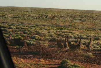 Emu family near Woomera